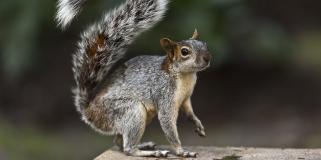 Jody Putnam shot and pepper sprayed the squirrel (file picture)