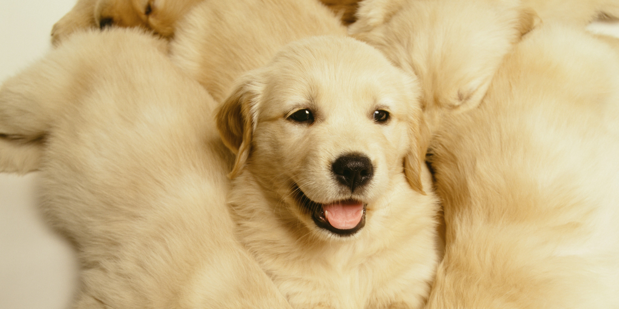 Golden Retriever Puppy Cam Is The Best Thing To Happen To You On A Friday Afternoon ...