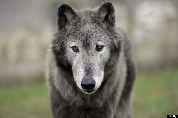 wolves scotland