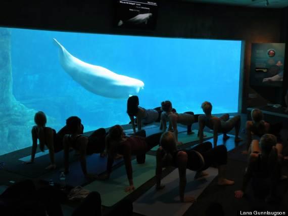 yoga belugas vancouver aquarium