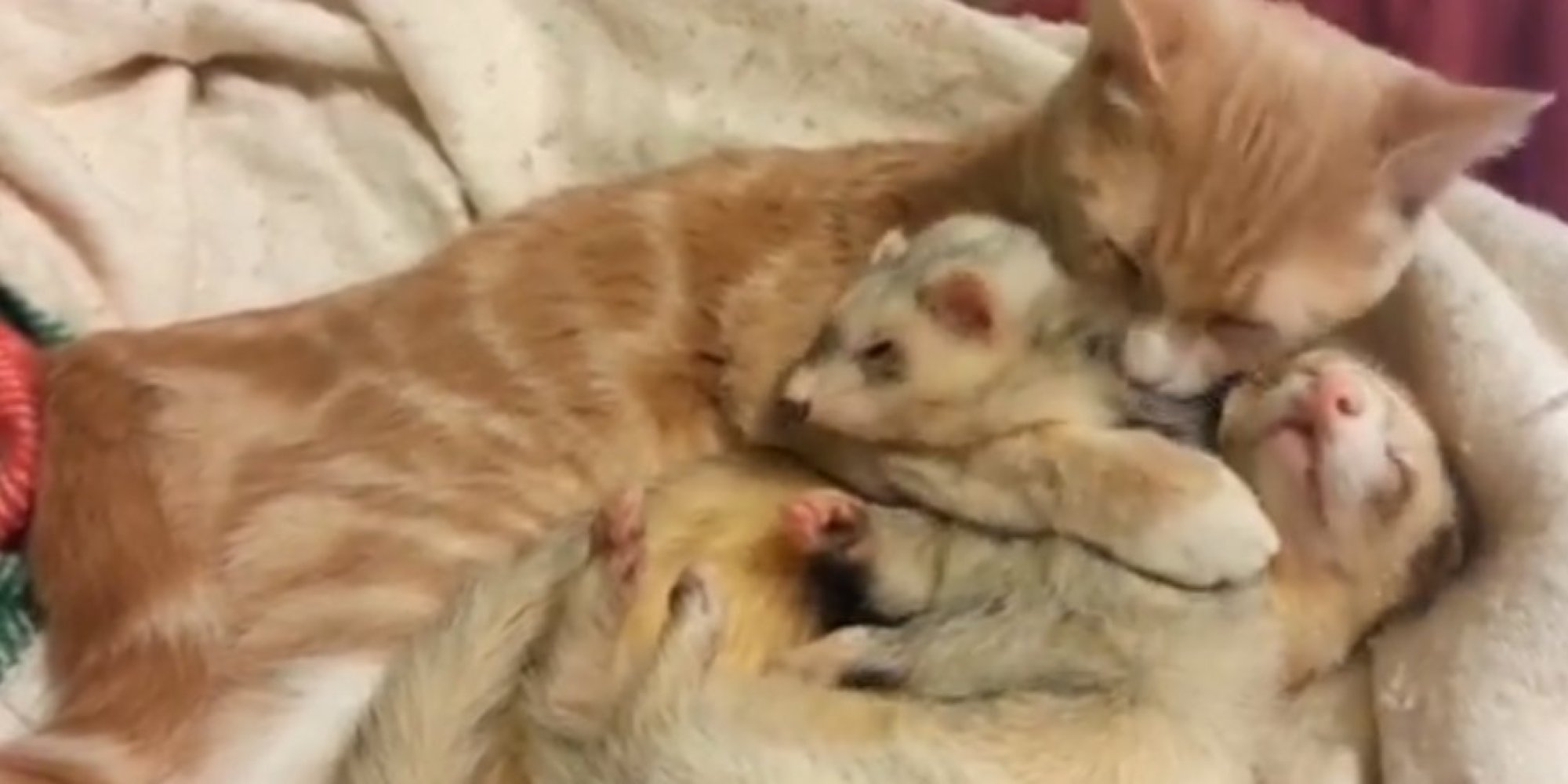 This Cat Bathing And Cuddling Two Ferrets Is Way Too Much To