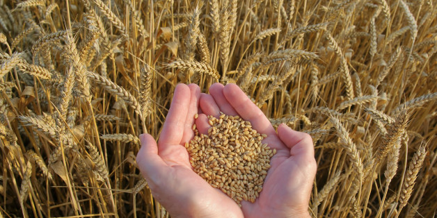 human hands with hep of wheat...