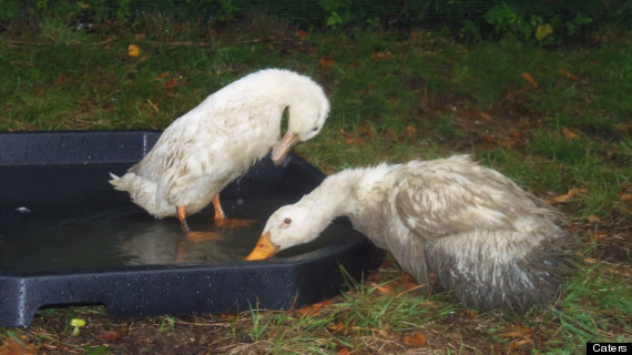 decapitated ducks