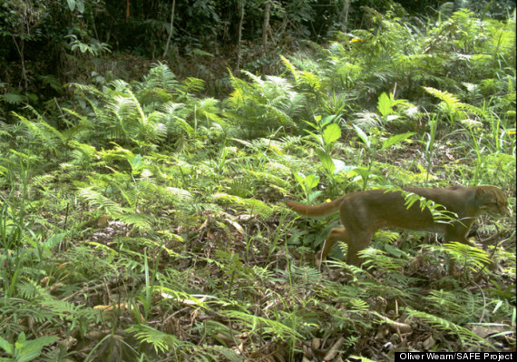 Rare & Elusive Wild Bay Cat Spotted In Borneo Forest (PICTURES, VIDEO)