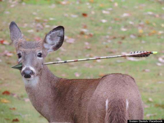 deer with arrow in head