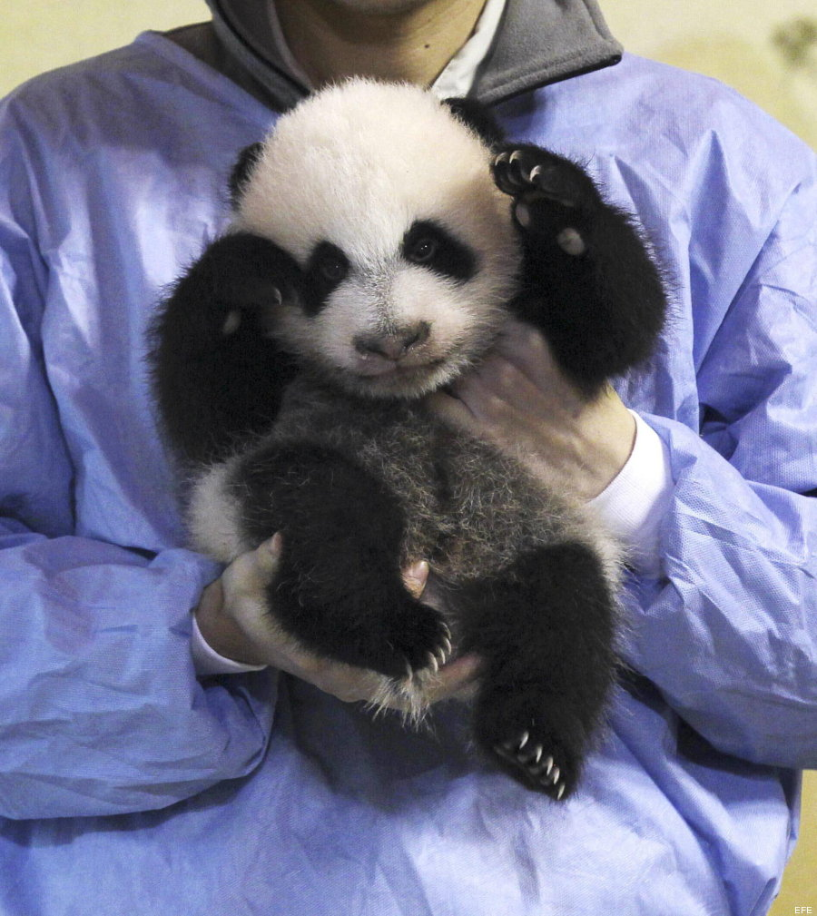 foto panda madrid