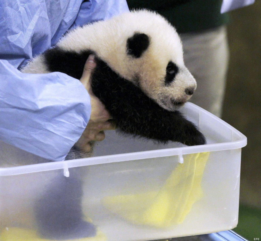 foto oso panda madrid