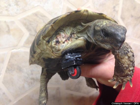 tortoise amputee