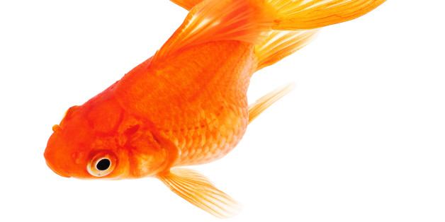 Fish sex? Is it even a thing? Here's a stock picture of a goldfish, you'll have to use your imagination for the rest