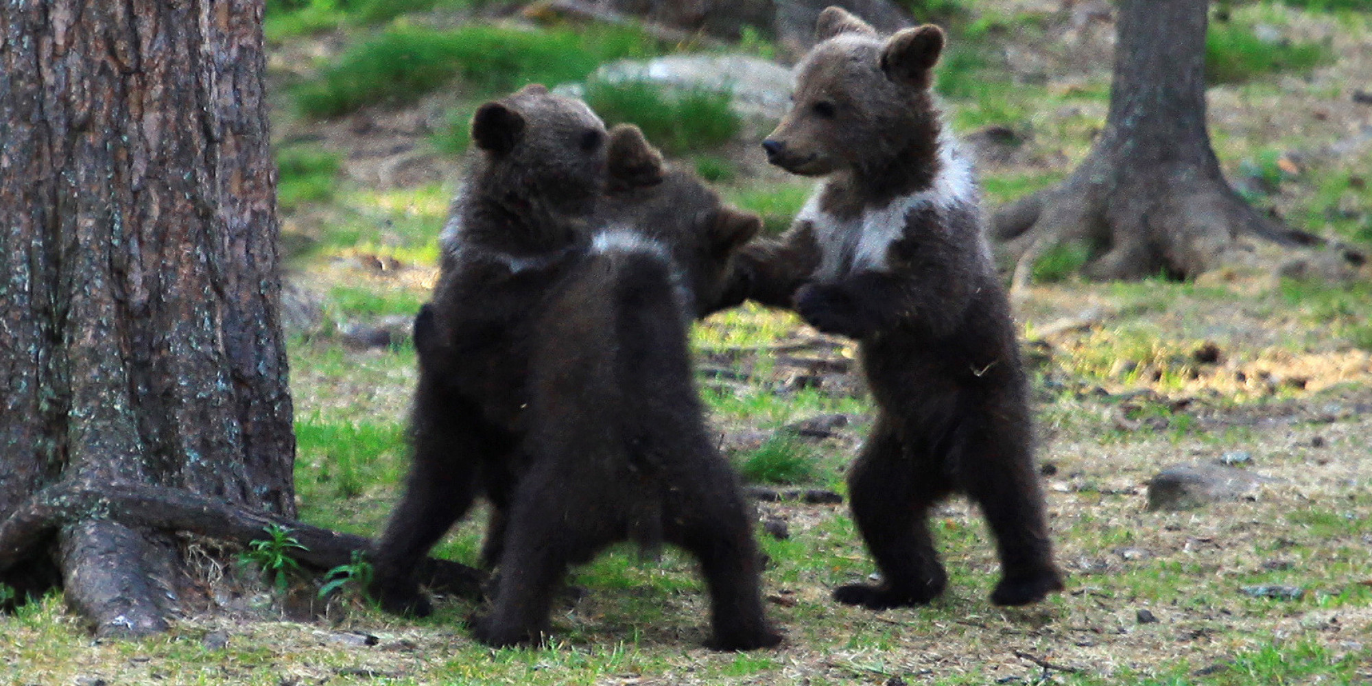 Bear Cubs Play Ring Around The Rosie And We All Fall