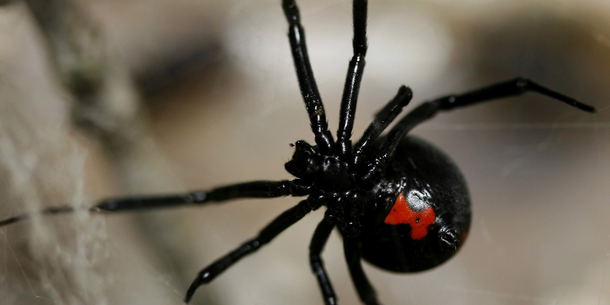 are black widow spiders deadly - HD2000×1000
