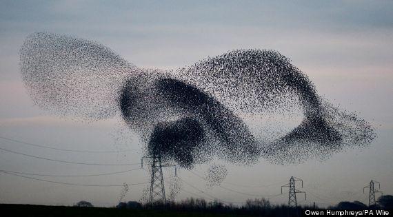 starlings
