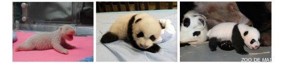 osos panda de madrid