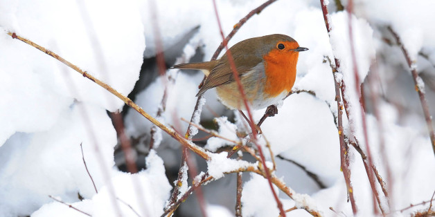 A robin sits on a snow covered branch in a garden in Northumberland as the winter weather continues across the UK.