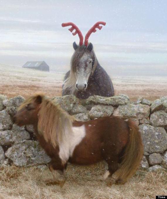 socks dancing shetland pony
