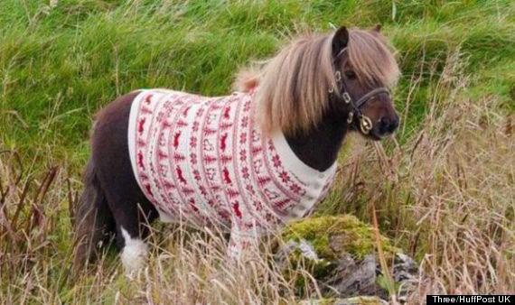 socks sweat shetland pony