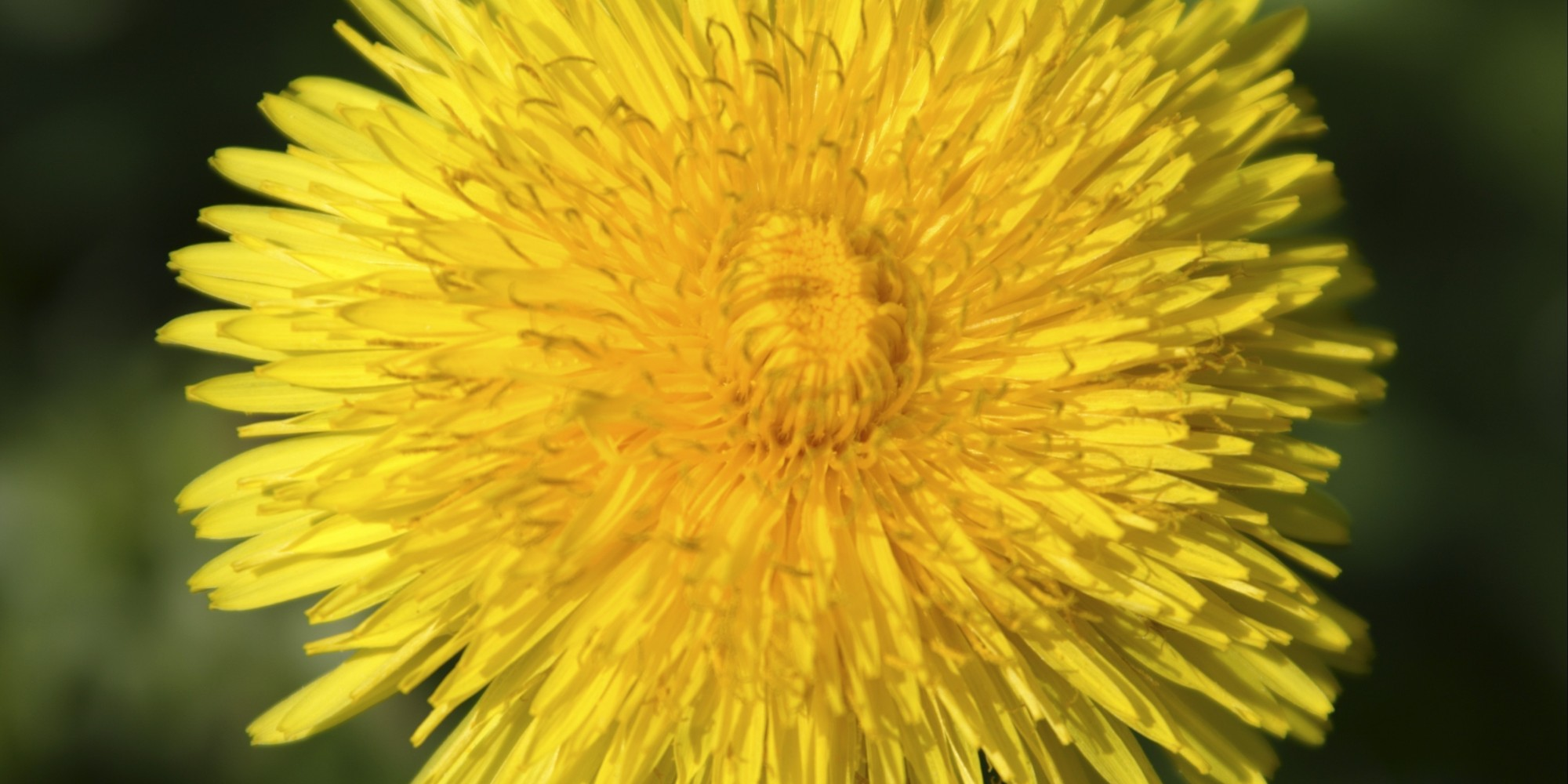 Dandelion Grows Inside Ear Canal Of Girl In China Huffpost