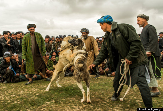 dog fight afghanistan
