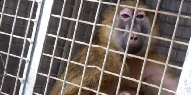 Newcastle University Ends Caputure Of 'Cruel' Wild Primates For Animal Experiments After Pressure