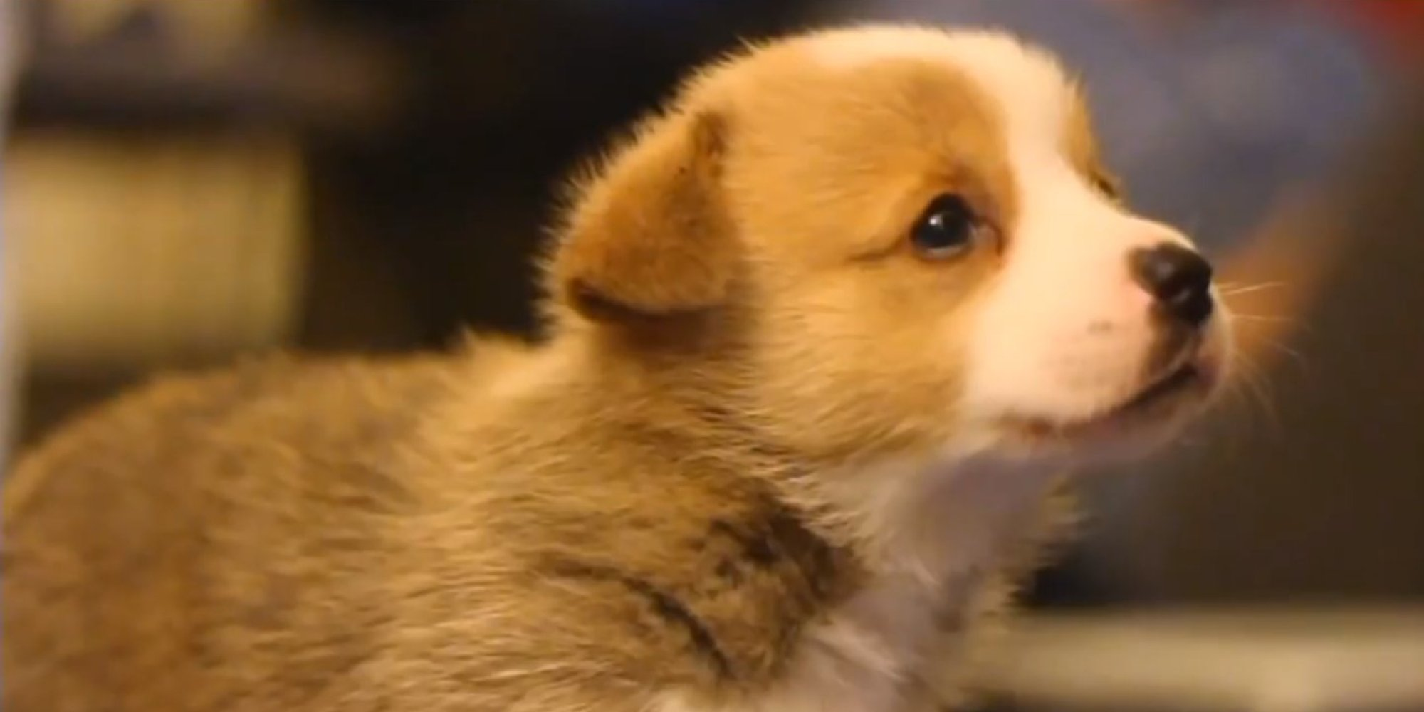 We Dare You To Try And Choose Which Tiny Corgi Puppy Is