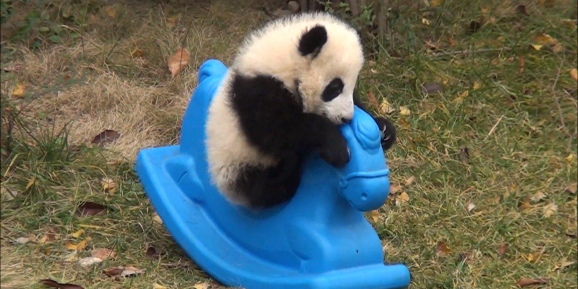 This Panda Cub Is TOO Cute, As If That's Even Possible (VIDEO) | HuffPost  This Panda Cub ...