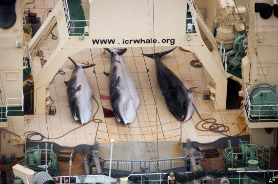 sea shepherd australia whales