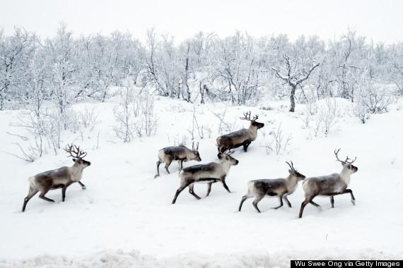 wild reindeer norway