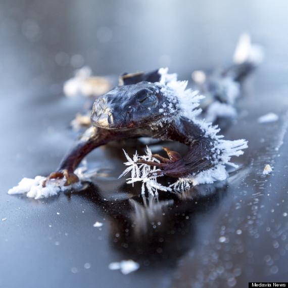 frozen frog