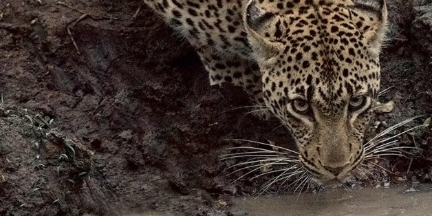 Leopards are one of 17 species currently under threat