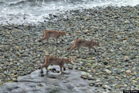 cougars bc
