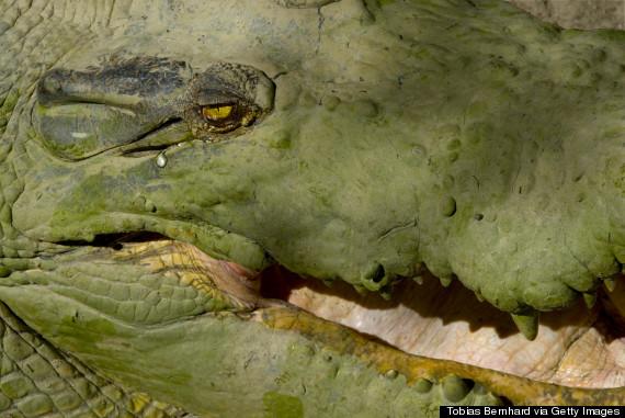 crocodile tear