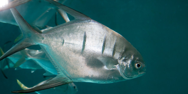 The group of swimmers were attacked by palometas (file picture)