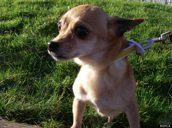 elderly chihuahua left on train