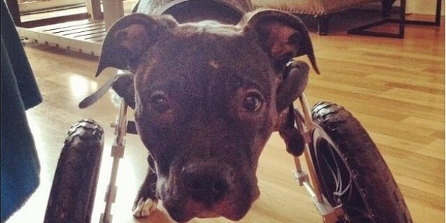 This Pit Bull Was Almost Euthanized, But Now He's An Instagram Star