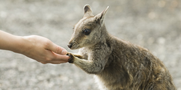 cute baby wallaby
