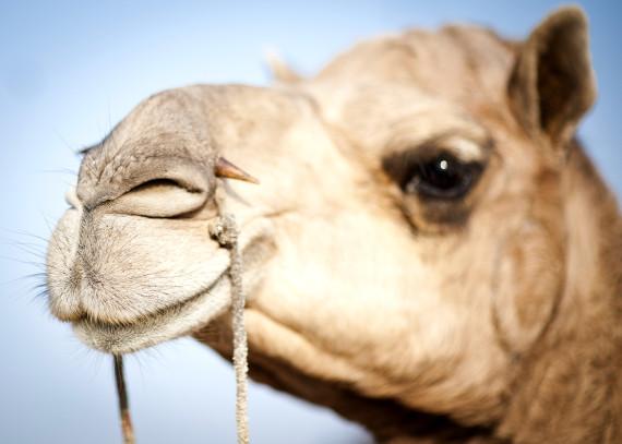 camel bible