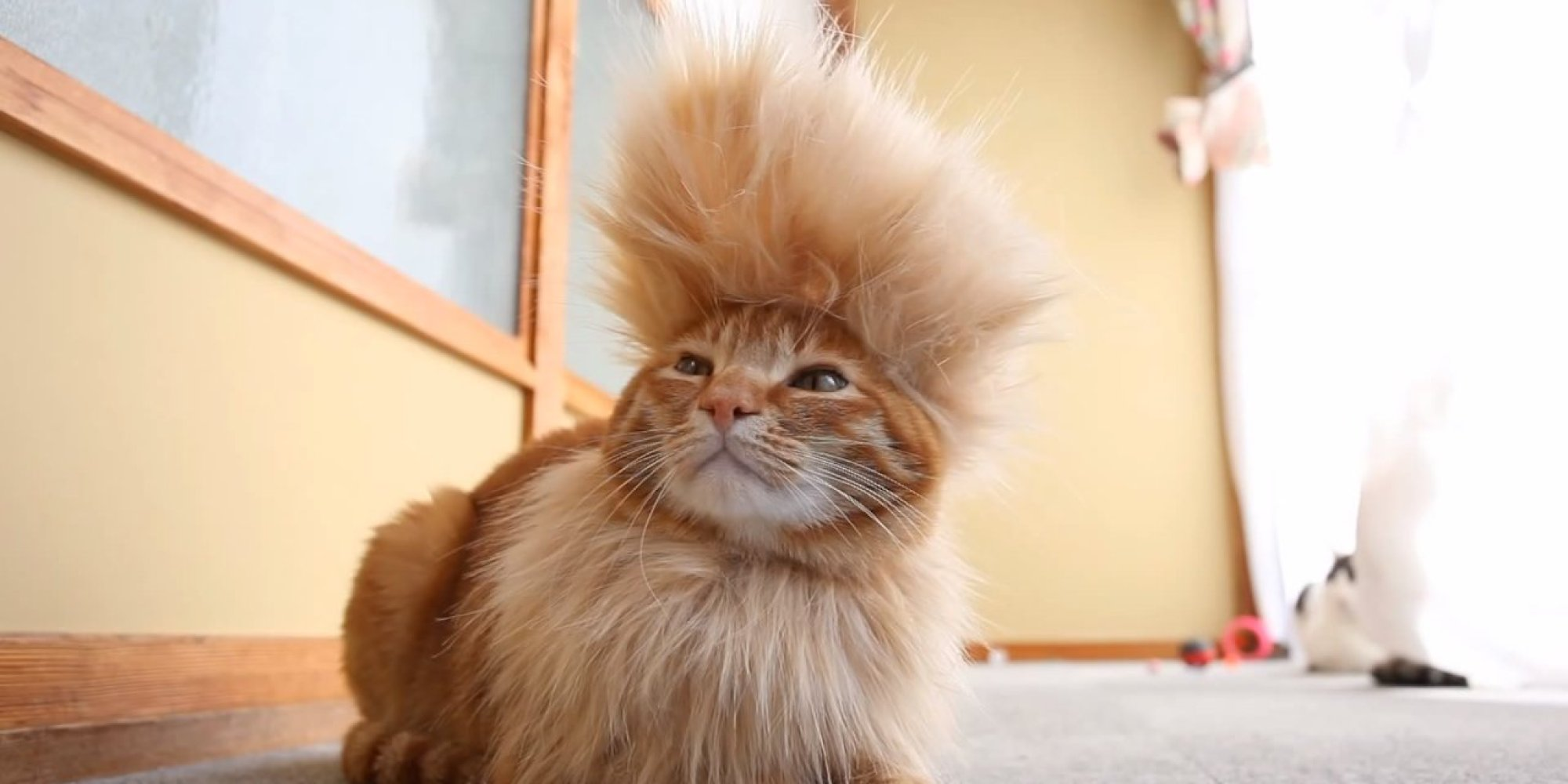 never fear mohawk cat is here video huffpost