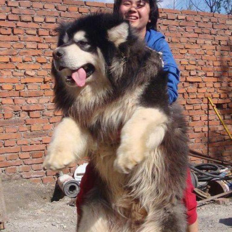 Diese 14 Riesen Hunde Beweisen Große Liebe Kommt Mit Viel Sabber