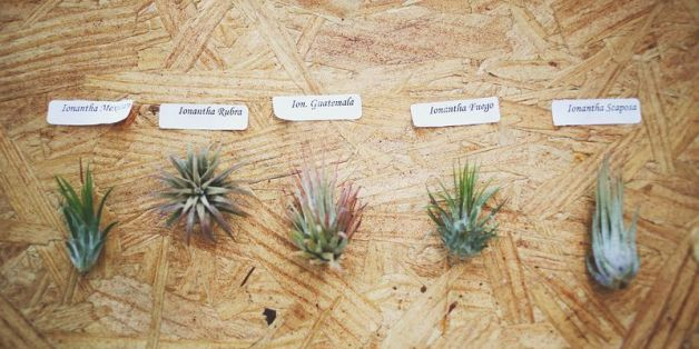How to care for air plants huffpost - Interior plant maintenance contract ...