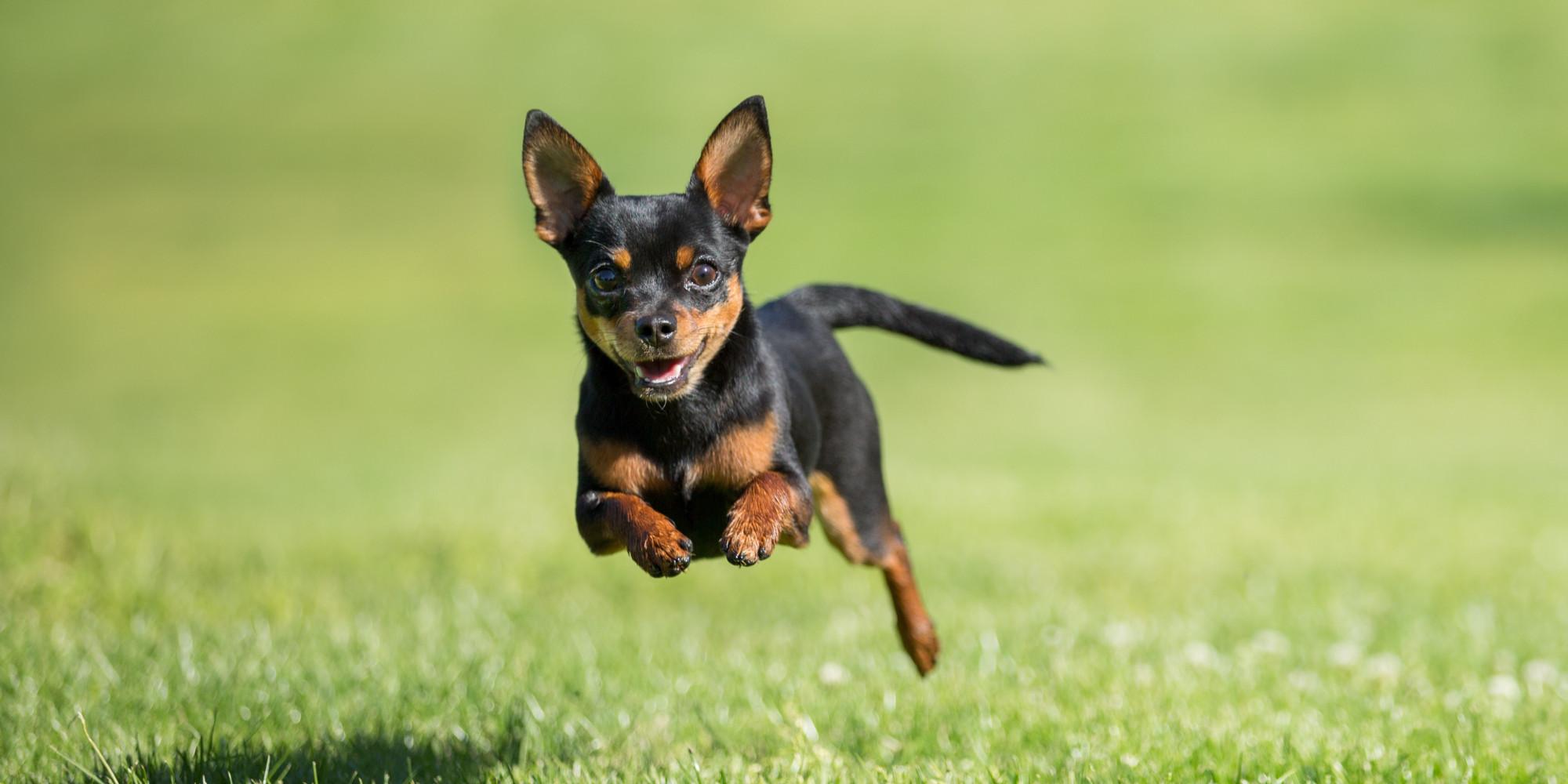 Packs Of Chihuahuas Terrorize Arizona Neighborhood Chase