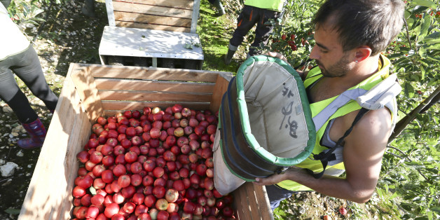 A fruit picker unloads a sack of royal gala apples into a crate at AC Goatham & Sons' orchard in Upchurch, U.K., on Tuesday, Oct. 8, 2013. U.K. retail sales grew 0.7 percent in September, compared with a 1.8 percent increase the previous month, the British Retail Consortium said today. Photographer: Chris Ratcliffe/Bloomberg via Getty Images