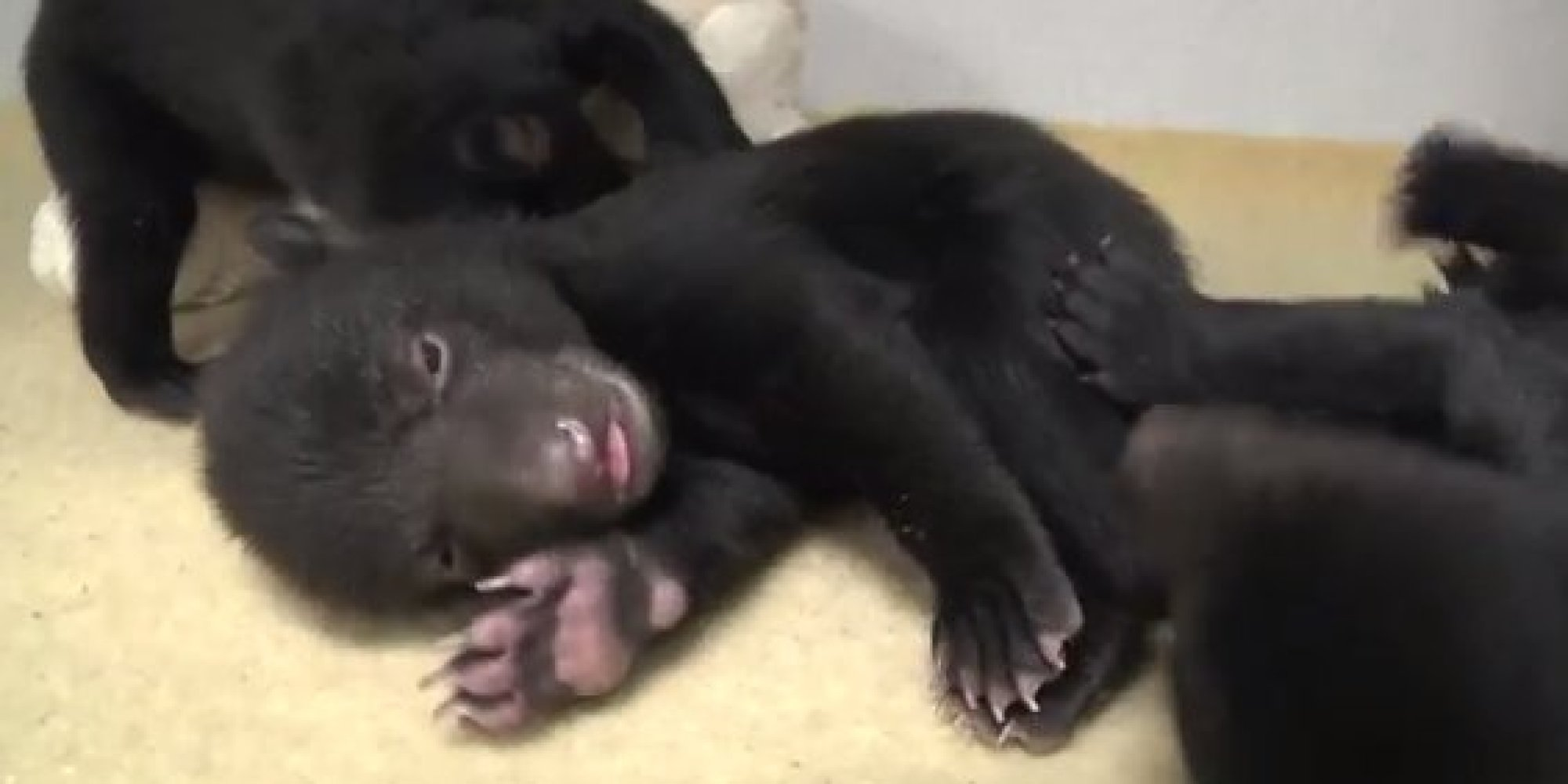 Oregon Zoo Cares For Black Bear Cubs That Are So Adorable
