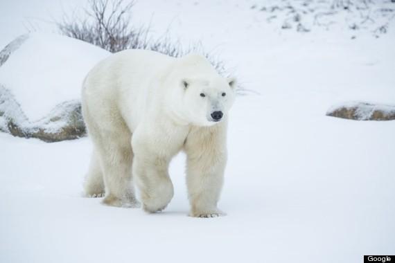 polar bear tundra