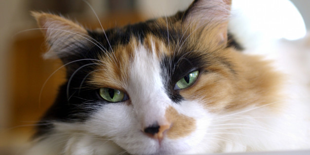 What Calico Cats Can Teach Us About Obesity