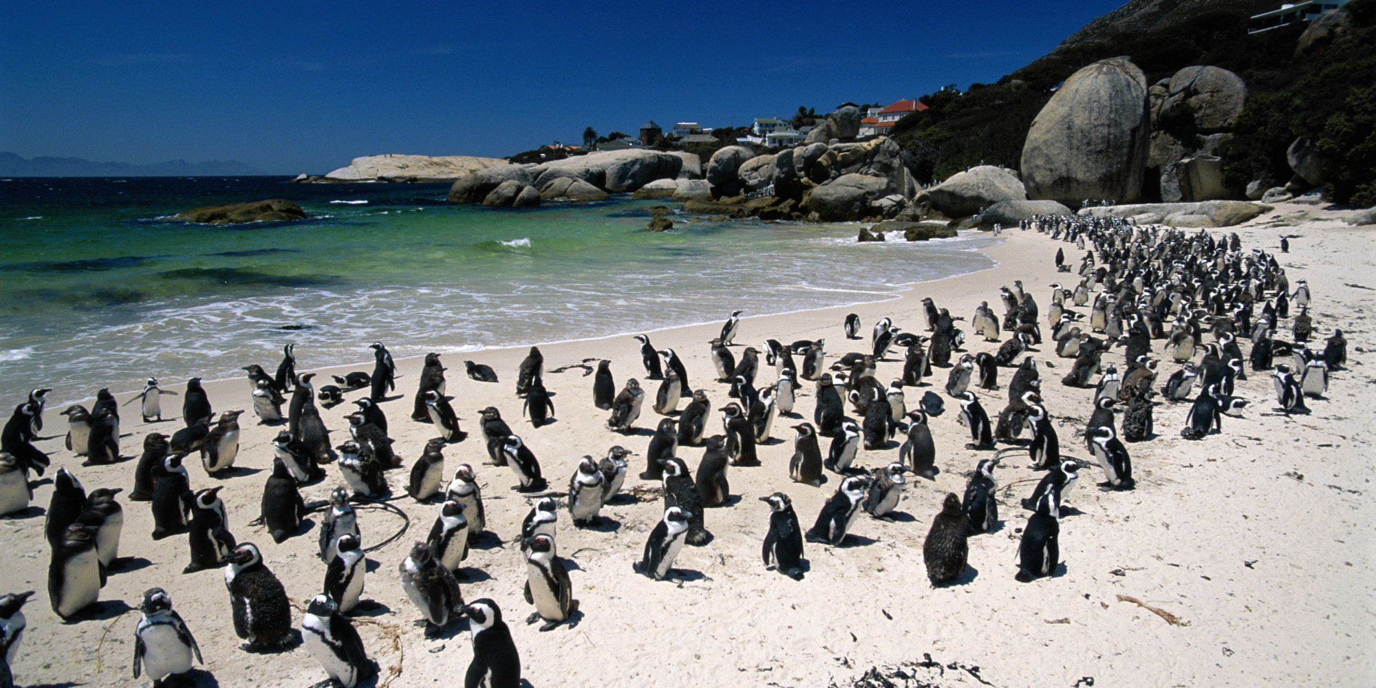Penguins Penguins Penguins At South Africa S Boulders