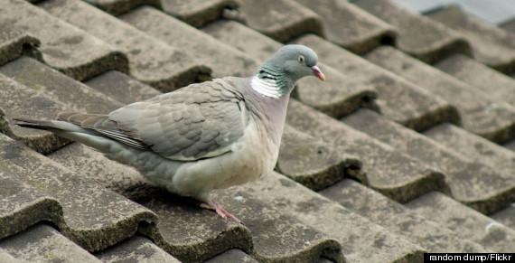 evil pigeon