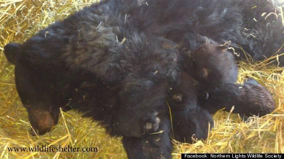 black bear smithers