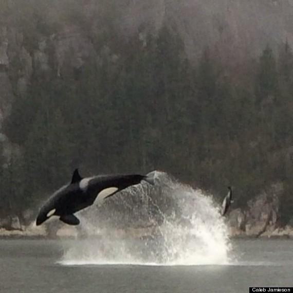 orca whale squamish