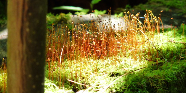 Zombie Moss: Scientists Bring 1,500-Year-Old Plants Back To Life