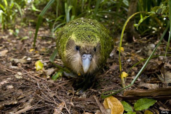 kakapo egg